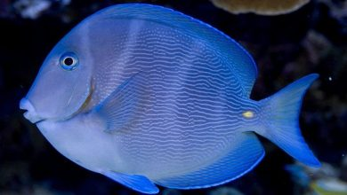 Photo of Surgeonfish, Acanturids