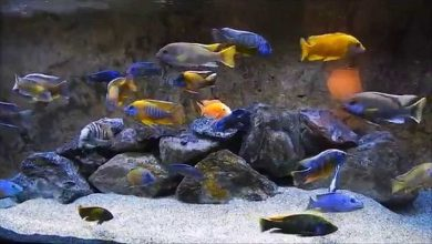 Photo of Cichlids