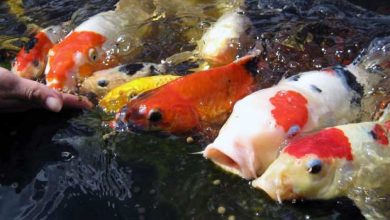 Photo of Pond Fish Food