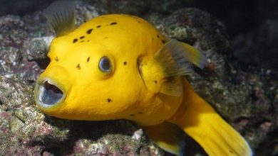 Photo of Pufferfish, Tetraodontids