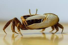 Photo of Fiddler Crab