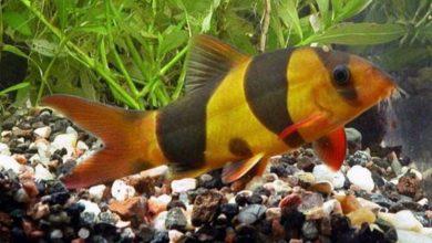 Photo of Cobitids (Cobitidae)