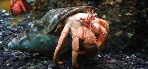 Photo of Hermit crab