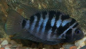 Photo of Convicted Cichlid