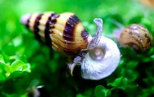 Photo of Snail Helena