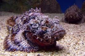 Photo of Stone fish