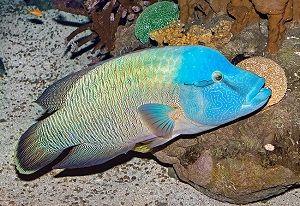 Photo of Napoleon fish