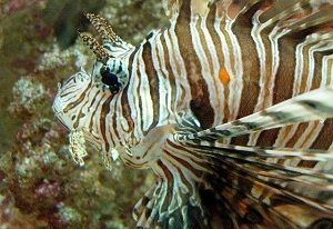 Photo of Scorpion fish