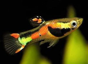 Photo of Guppy endler
