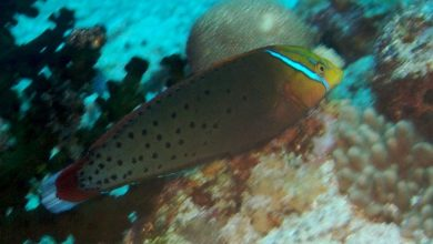 Photo of Wrasses