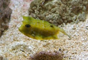 Photo of Cow Fish, Lactoria Cornuta
