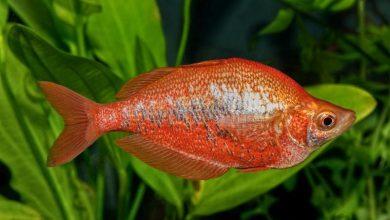 Photo of Melanotaenids