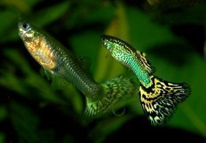 Photo of Guppy Fish, Poecilia Reticulata