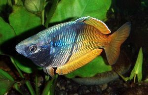Photo of Yamary's rainbow fish