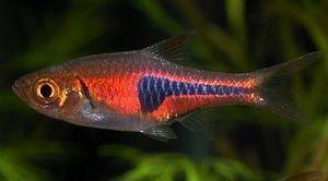 Photo of Harlequin fish