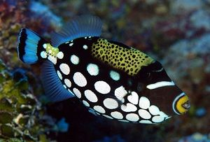Photo of Clown triggerfish