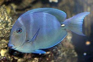 Photo of Blue Surgeonfish, Acanthurus coeruleus