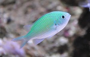 Photo of Green Damselfish, Chromis Viridis