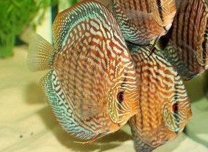 Photo of Discus fish