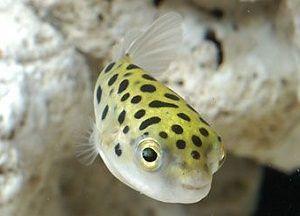 Photo of Freshwater Puffer Fish