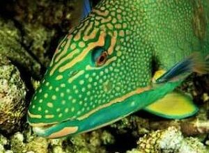 Photo of Parrotfish
