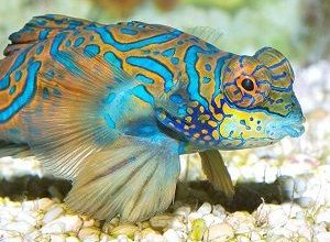 Photo of Mandarin Fish