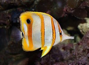 Photo of Ketodonts, Butterfly Fish