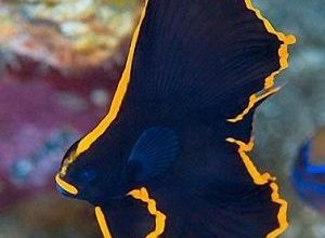 Photo of Bat fish