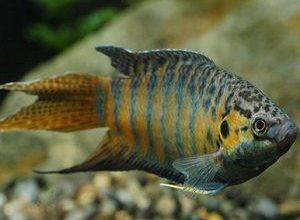 Photo of Paradise Fish, Macropodus Opercularis