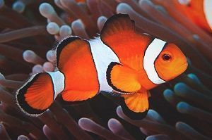Photo of Clownfish, Amphiprion Ocellaris