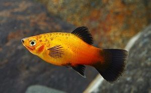 Photo of Platy Fish