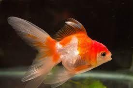 Photo of Goldfish, Carassius Auratus