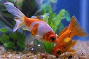 Photo of Telescope Fish