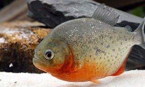 Photo of Red Piranha